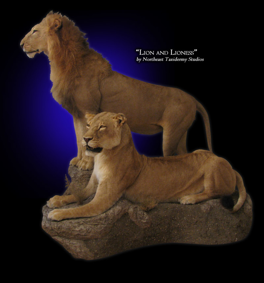 African Lion Mounts