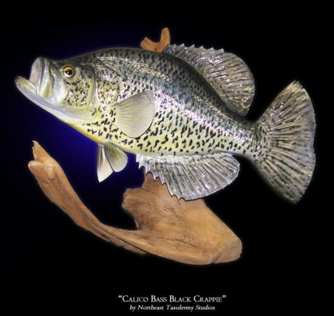 Calico Bass Black Crappie