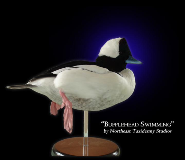 Bufflehead Swimming