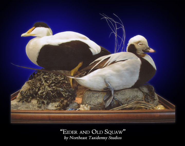 Eider and Old Squaw