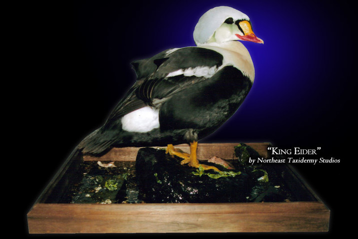 King Eider Mounts