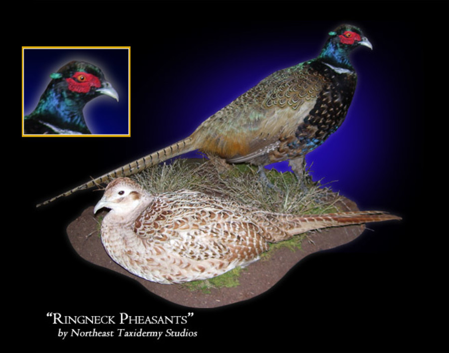 Ringneck Pheasants Mounts