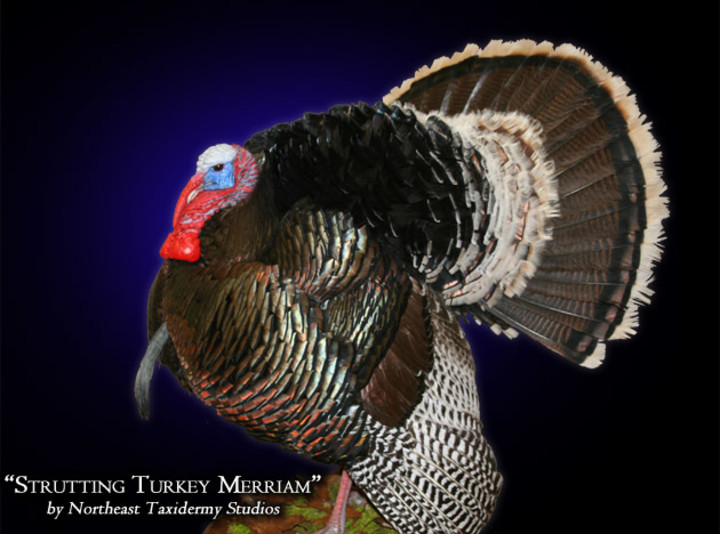 Strutting Turkey Merriam