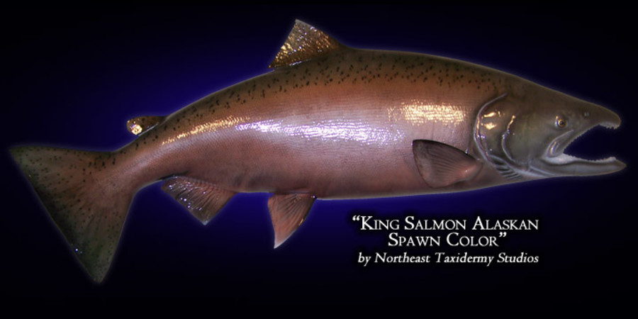 King Salmon Mounts.