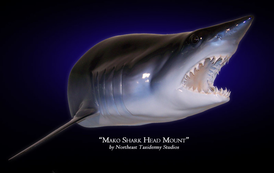 Mako Shark Head Mounts.