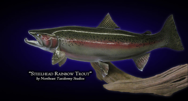 Steelhead Rainbow Trout