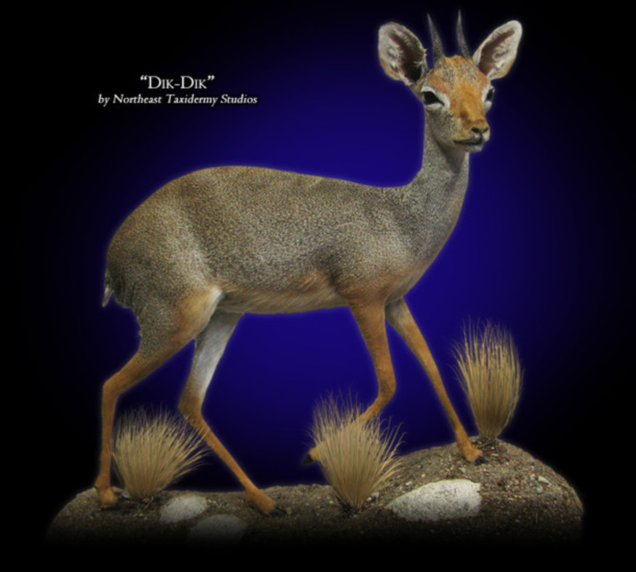 Dik-dik Mounts.