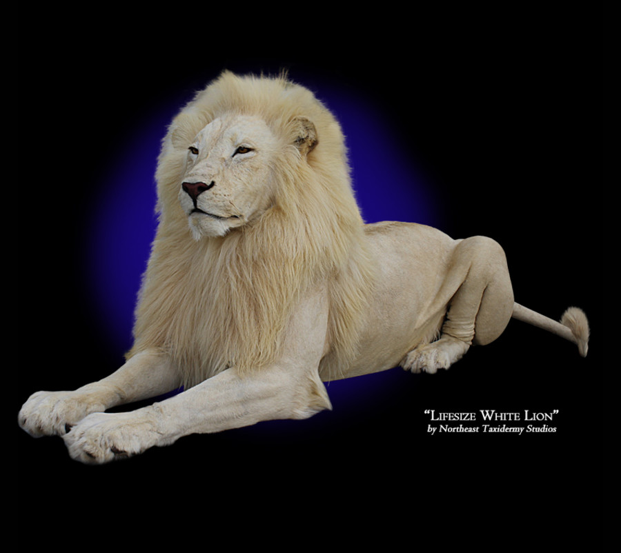 Lifesize White Lion Mounts.