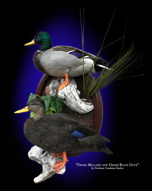 Drake Mallard and Drake Black Duck
