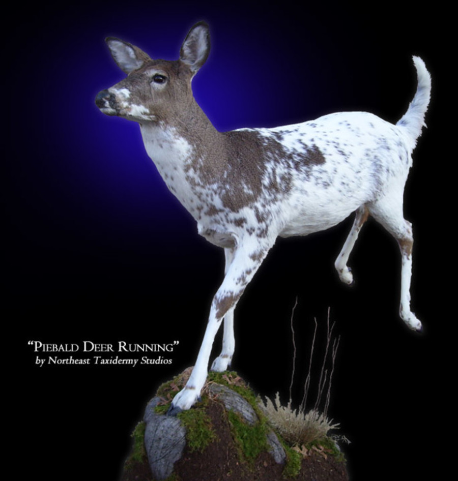 Piebald Deer Running Mounts.