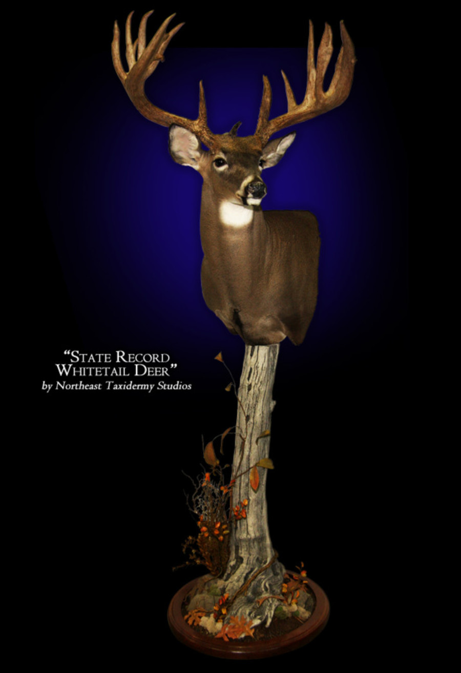 Connecticut State Record Whitetail Deer Mounts.