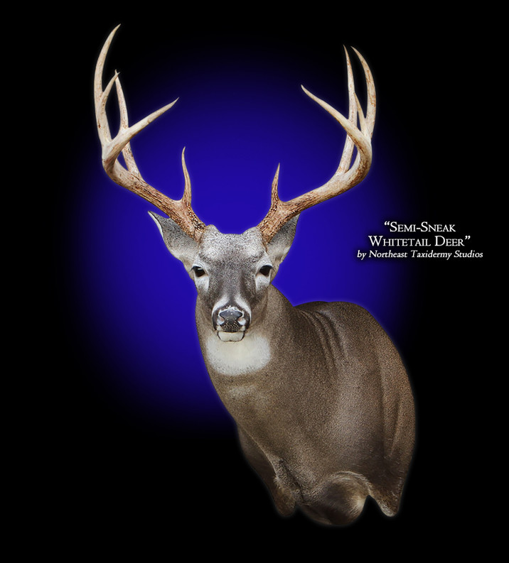 Whitetail Deer Semi-Sneak Left Mounts