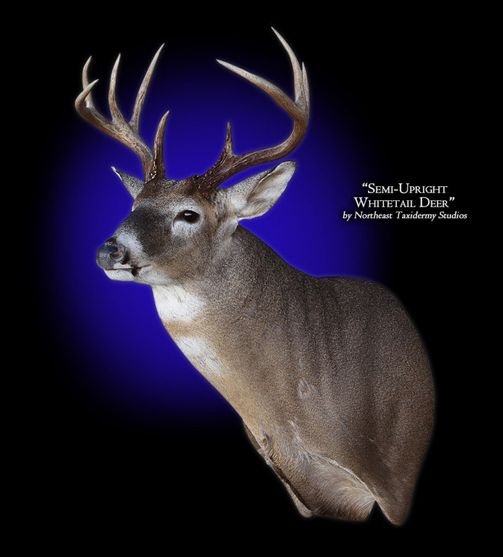 Whitetail Deer Semi-Upright Left Mounts