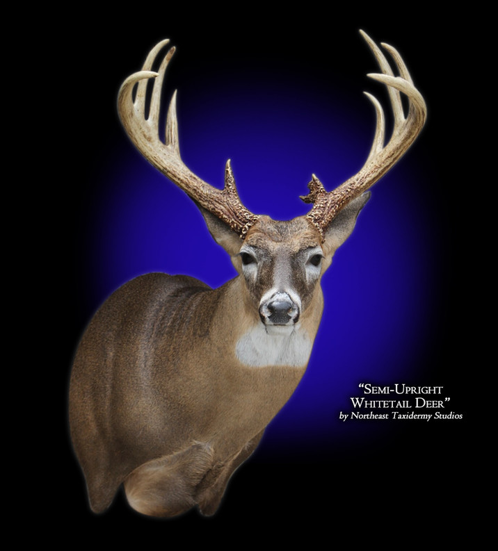 Whitetail Deer Semi-Upright Right Mounts