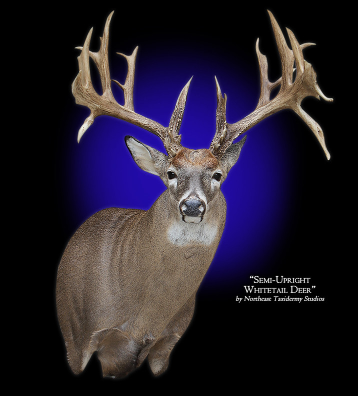 Whitetail Deer Semi-Upright Right Offset Mounts