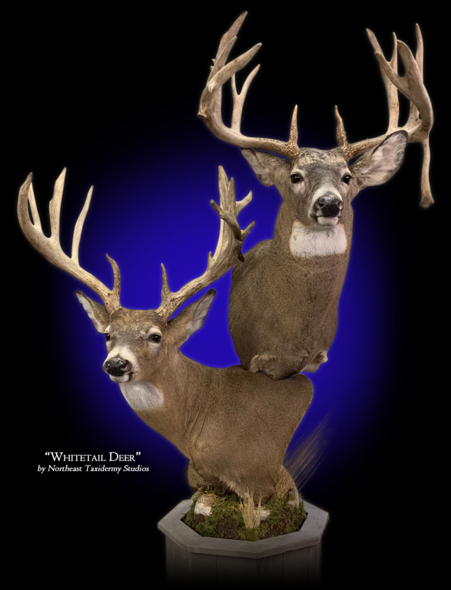 Pedestal Whitetail Deer Mounts.