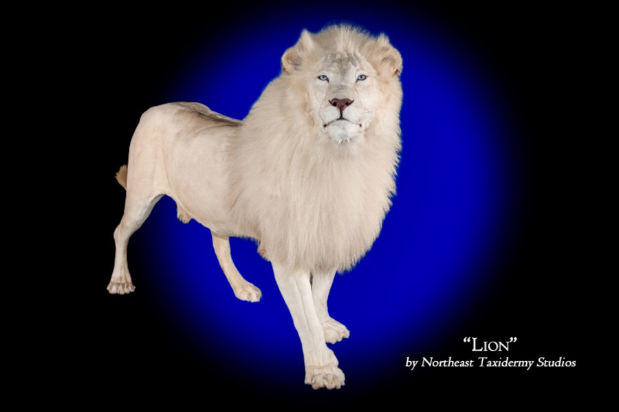 African White Lion Mounts.