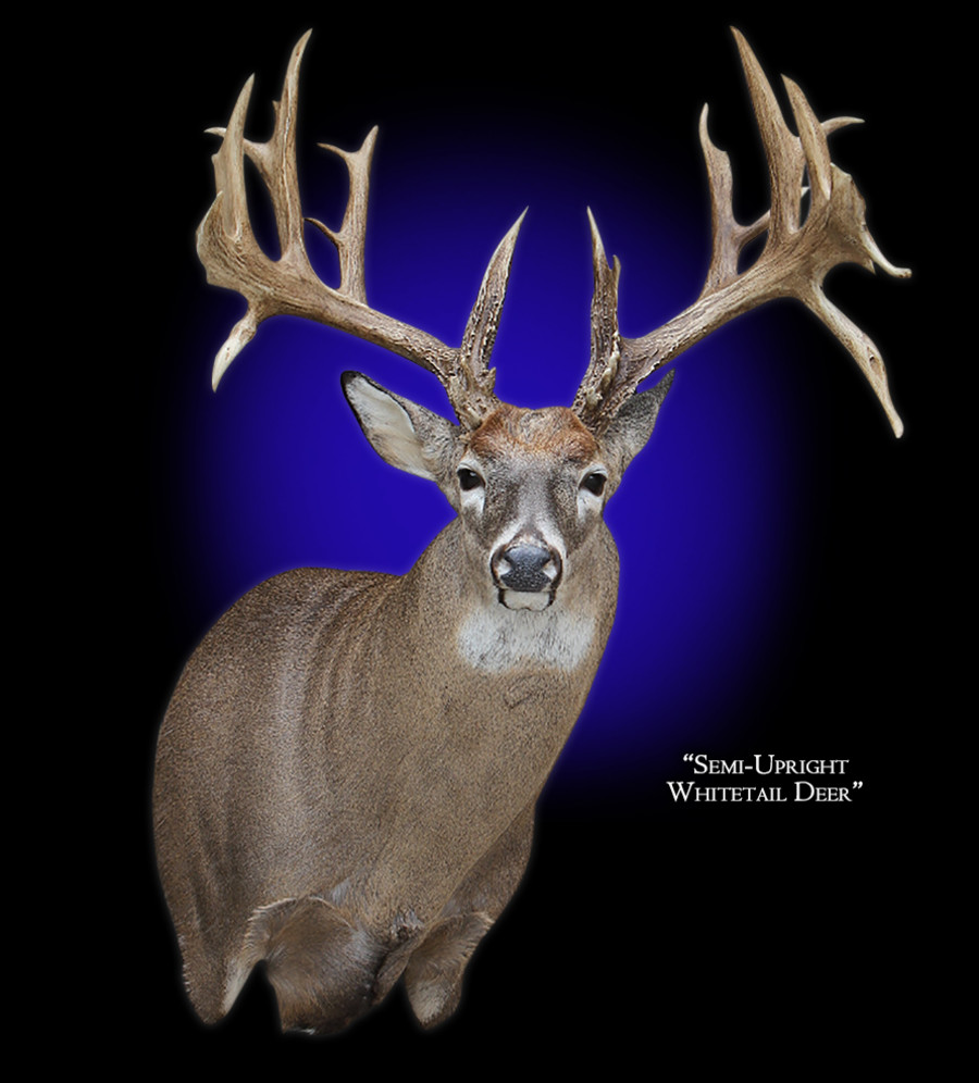 Whitetail Deer Semi-Upright Right Offset Mounts.
