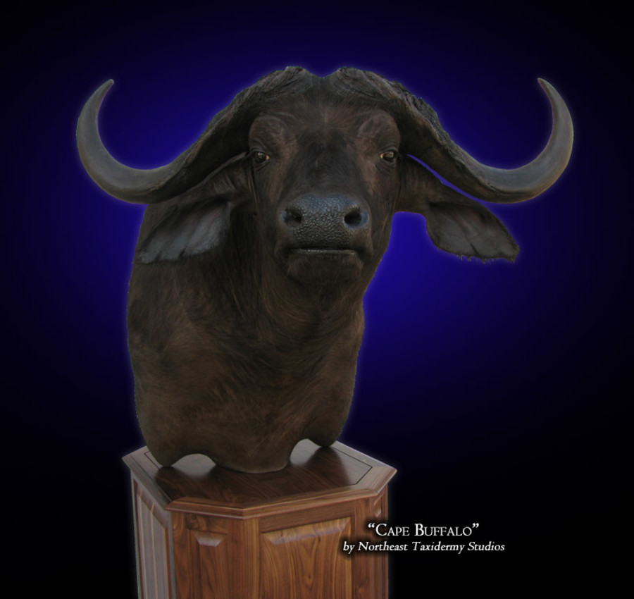 Cape Buffalo Mounts.